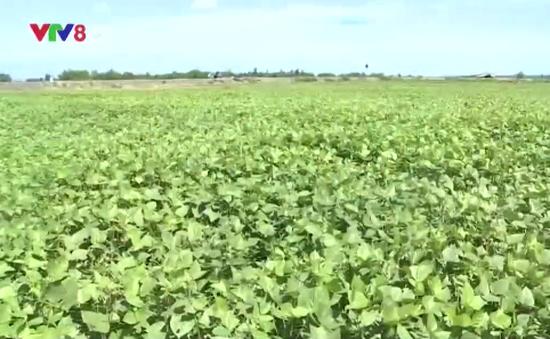 Quảng Trị chuyển đổi cây trồng cạn trên vùng đất khô hạn