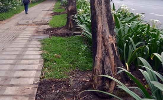 TP.HCM: Nhiều cây cổ thụ chết bất thường nghi bị đầu độc