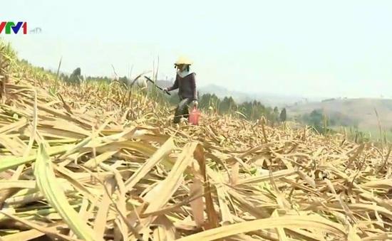 Gia Lai: Hạn hán kéo dài, mía chết cháy