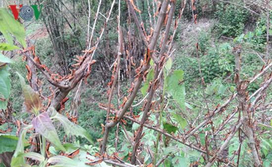 Nạn châu chấu hoành hành ở Sơn La