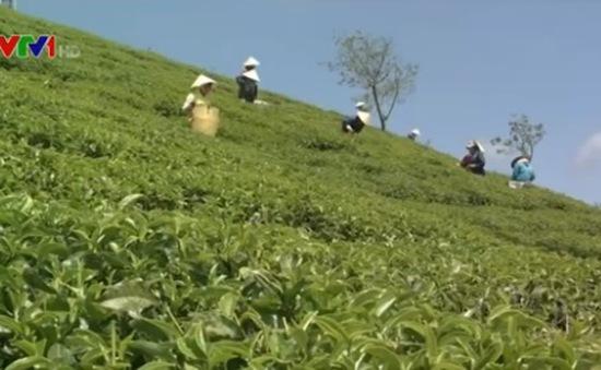 Bế tắc kéo dài ở vùng trồng chè ô long
