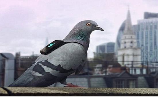 Chim bồ câu giám sát ô nhiễm không khí ở London
