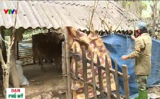 Người dân Sơn La chủ động chống rét cho gia súc