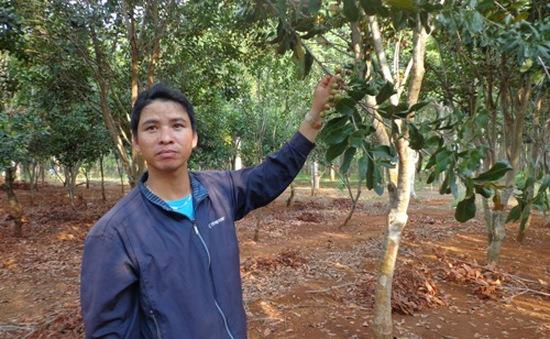 Nông dân Đăk Lăk thu hẹp diện tích trồng mắc ca