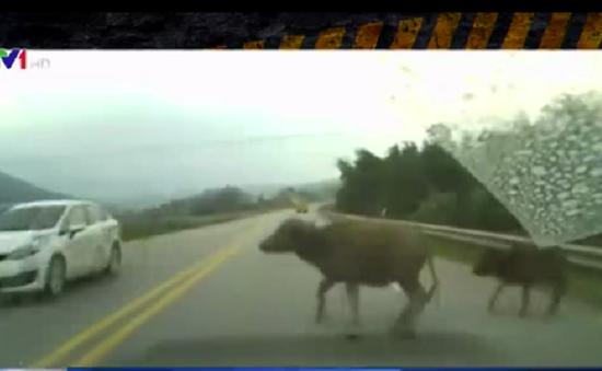 Trâu bò thong dong dạo trên… đường cao tốc
