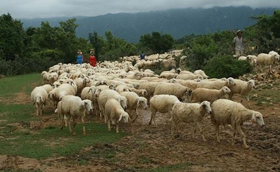 Ninh Thuận loay hoay tìm đầu ra cho sản phẩm thịt cừu