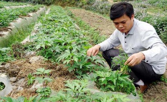 Thu tiền tỷ mỗi năm nhờ trồng đương quy