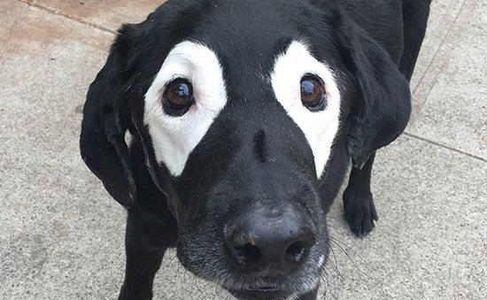 """Phì cười trước chú chó màu bò sữa bị chế ảnh """"không thương tiếc"""""""