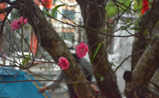 Đào Nhật Tân tung nở được bán trên đường phố Hà Nội