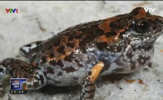 Australia phát hiện chủng loại ếch mới