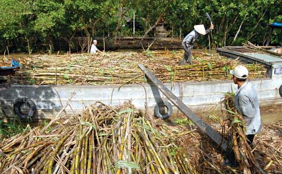 Thương lái hạ thấp chữ đường, người trồng mía bị ép giá