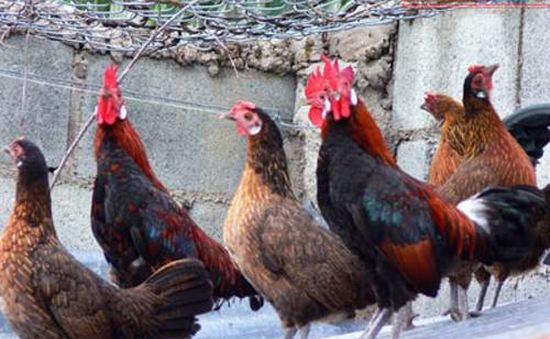 Giá gà tại ĐBSCL không có sự biến động lớn