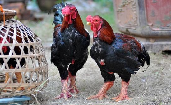 Thành triệu phú nhờ nuôi gà
