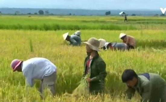 Đồng bào thiểu số ổn định lương thực mùa mưa lũ