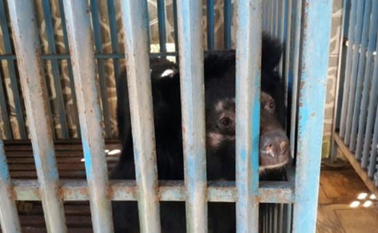 Tiếp nhận 4 gấu ngựa bị nuôi nhốt hơn 10 năm ở Gia Lai