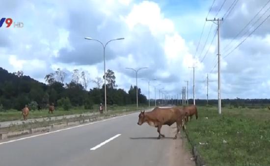 Tràn lan gia súc thả rông trên Quốc lộ tại Bà Rịa - Vũng Tàu
