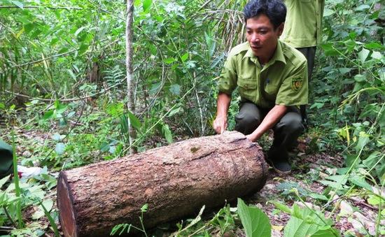 Đăk Lăk: Chưa tìm ra thủ phạm đốn hạ gỗ quý ở Ea Sô sau 6 tháng