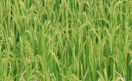 Nghiên cứu thành công 7 giống lúa chịu hạn mặn