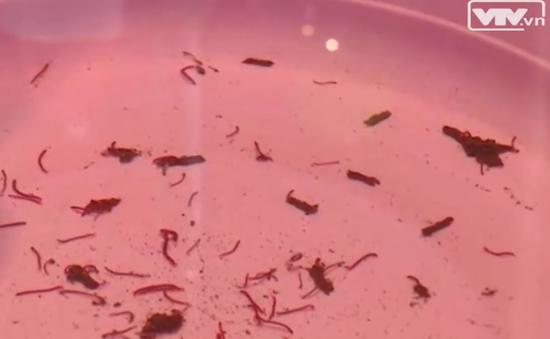 Giun sán bò lổm ngổm trong nước sinh hoạt ở Hà Nội