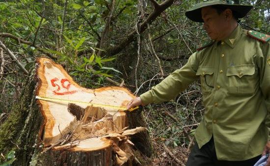 Quảng Nam lập đoàn công tác phá án vụ phá rừng Pơ mu