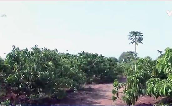 Nông dân Đăk Lăk khôi phục sản xuất sau nắng hạn