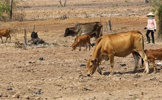Nắng hạn kéo dài, Ninh Thuận hỗ trợ người dân duy trì đàn gia súc