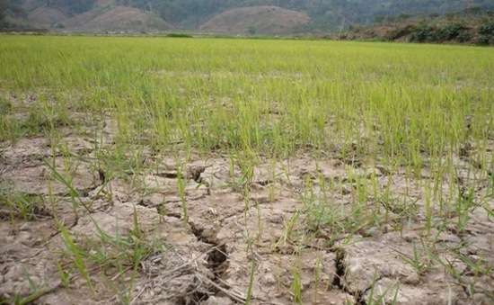 Gia Lai: Trên 1.000ha cây trồng mất trắng do hạn hán