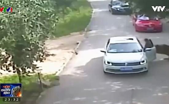 Một phụ nữ thiệt mạng vì bị hổ vồ tại Trung Quốc