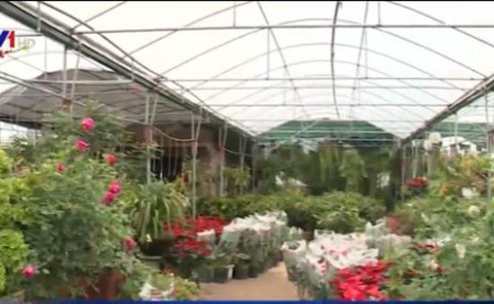Bảo tồn và phát triển giống hoa hồng cổ Sa Pa