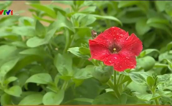 ĐH Nông Lâm Huế trồng thử nghiệm thành công hoa dạ yến thảo