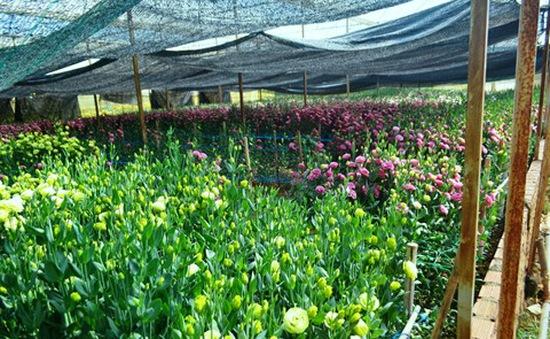 Nhà vườn tại Gia Lai lo lắng do hoa Tết nở sớm