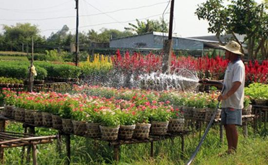 Vùng chuyên canh hoa Tết của miền Trung bị thiệt hại nặng