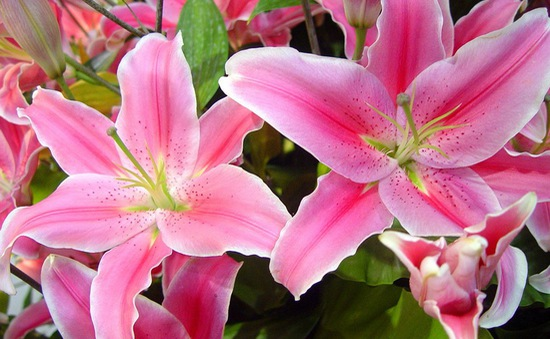 """Hoa ly nở sớm, người trồng hoa Tây Tựu """"mất"""" Tết"""