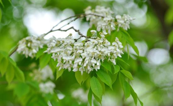 Hà Nội đẹp ngỡ ngàng mùa hoa sưa