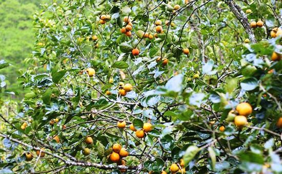 Vùng chuyên canh hồng Lâm Đồng có nguy cơ xóa sổ
