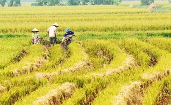 Mê hồn vẻ đẹp làng quê Bắc Bộ vào mùa gặt