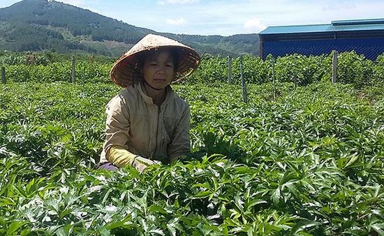 Lâm Đồng: Tìm đầu ra cho cây dược liệu đương quy