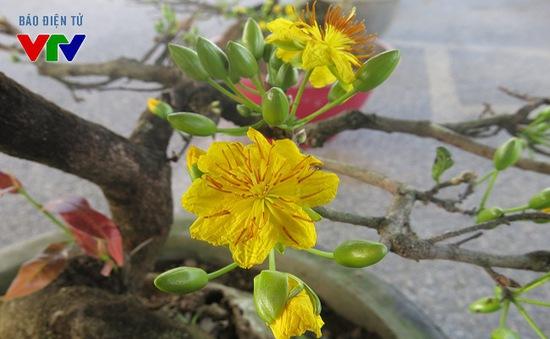 Hoa mai rực rỡ khắp phố phường Hà Nội ngày Tết