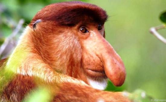 Những kỷ lục thú vị về loài khỉ (Phần 2)