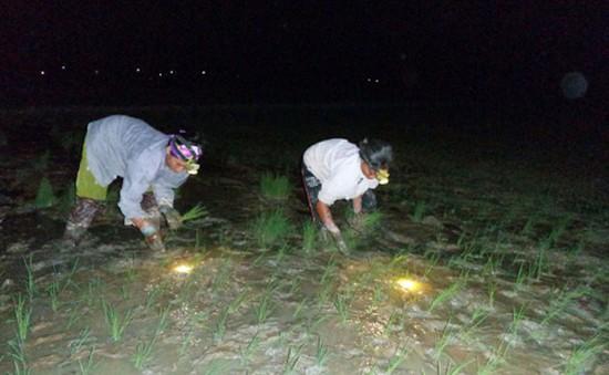 Nông dân Nghệ An cấy đêm tránh nắng nóng