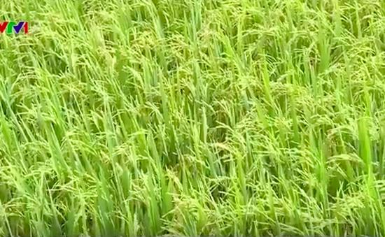 ĐBSCL: Nông dân phấn khởi vì giá lúa tăng trở lại