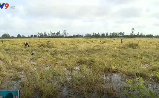 Kiên Giang: Hàng nghìn ha lúa sắp thu hoạch bị ngập úng