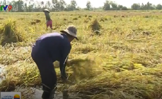 Thương lái không thu mua, người trồng lúa Kiên Giang điêu đứng