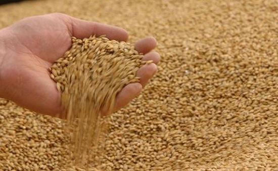 Tịch thu hơn 800 tấn lúa mì nhập lậu từ Panama