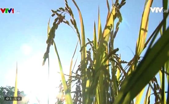 Giá lúa gạo giảm mạnh đúng vụ thu hoạch