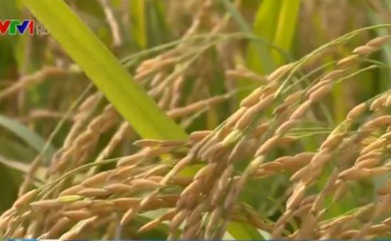 Nông dân Thái Bình phấn khởi vì được mùa lúa