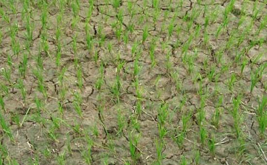 Nước tưới vụ Đông Xuân tại Quảng Nam nhiễm mặn