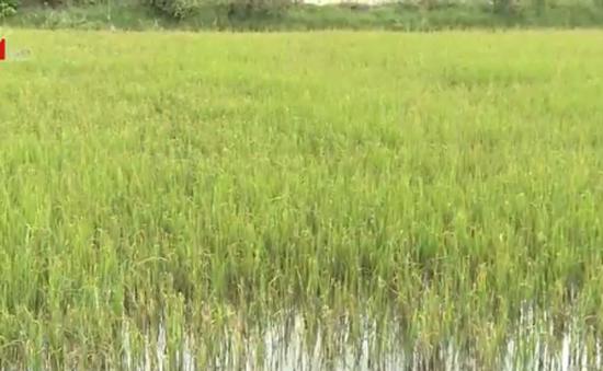 Hàng ngàn ha lúa tại Kiên Giang có nguy cơ mất trắng