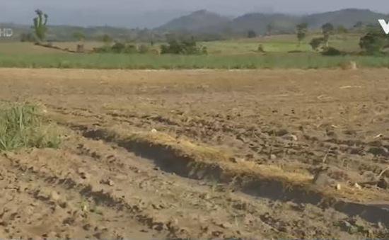 Gánh nặng chi phí trồng mía gia tăng