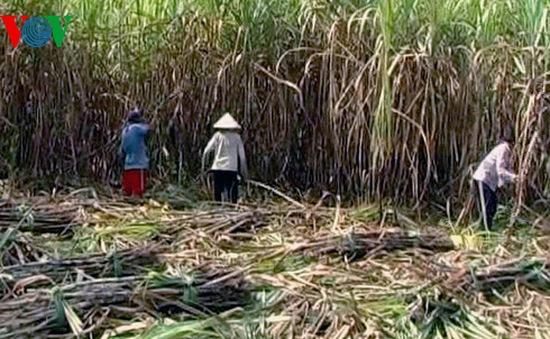 Đề xuất bảo hộ ngành mía đường đến sau năm 2018